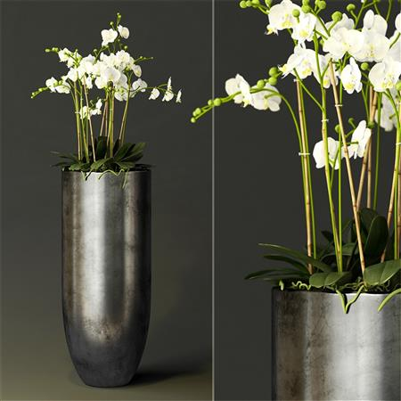 兰花orchid Hの Peyer N牛