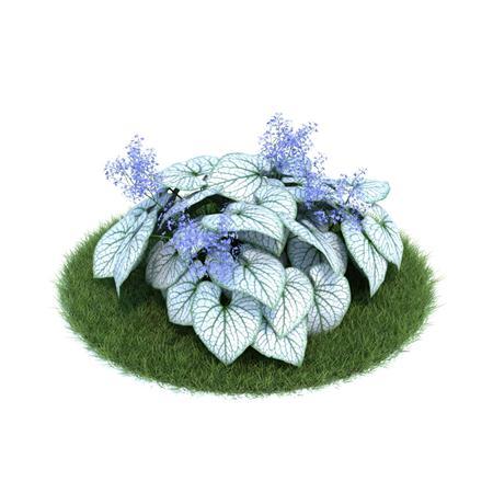 Evermotion Archmode 园艺植物 心叶牛舌草