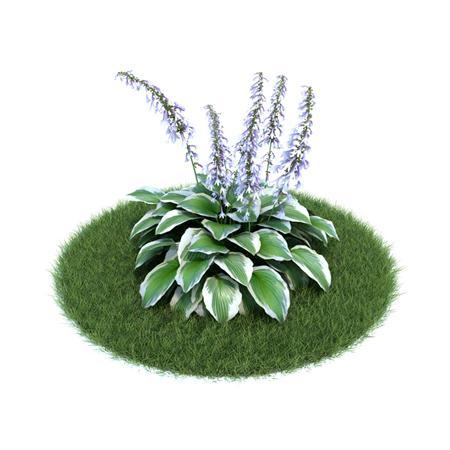 Evermotion Archmode 园艺植物 玉簪藤