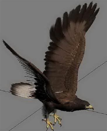 苍鹰 goshawk