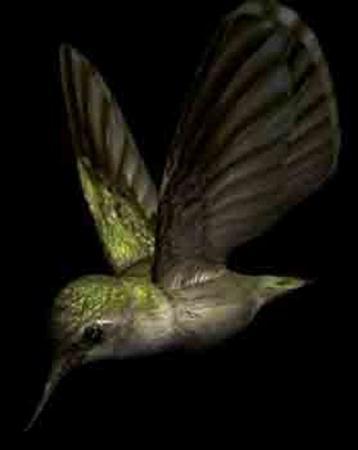 蜂鸟 hummingbird