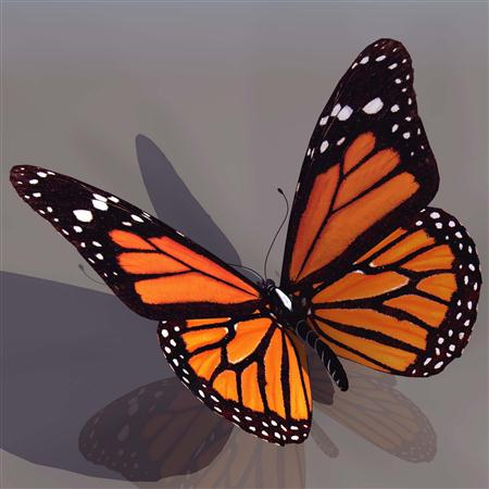黑脉金斑蝶 monarch butterfly