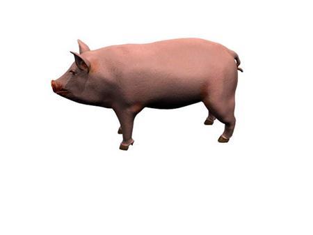 猪 pig
