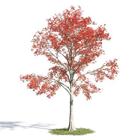 绿色植物套系 树木 木棉树 Bombax
