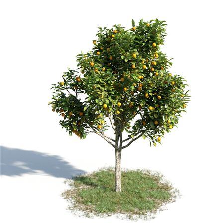 绿色植物套系 树木 橘子树 Citrus Sinensis