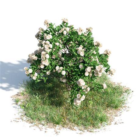 绿色植物套系 树木 栀子花树 Gardenia