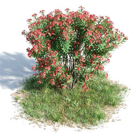 绿色植物套系 花草树木 夹竹桃 Nerium Oleander