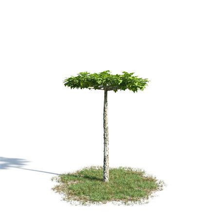 绿色植物套系 花草树木 悬铃木 Platanus