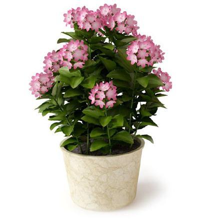 室内植物盆栽系列 四季梅