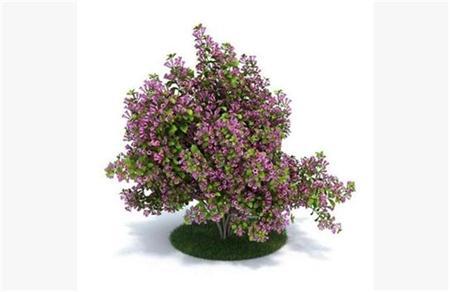 灌木矮生植物49