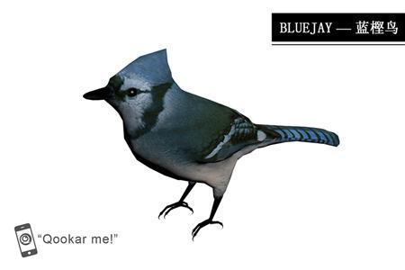 蓝松鸦 bluejay