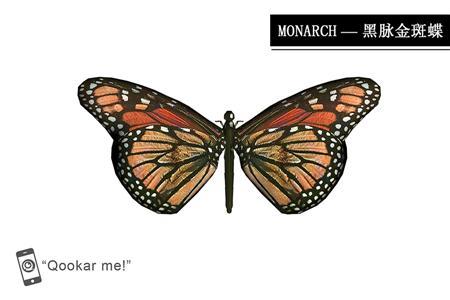 帝王蝶 黑脉金斑蝶 Danaus plexippus