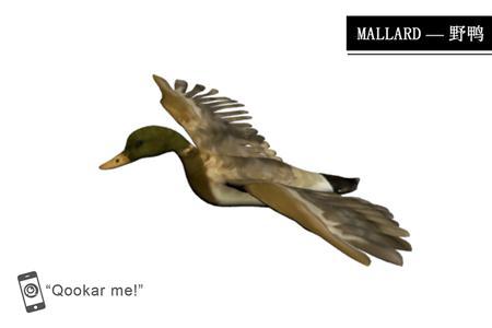 绿头鸭 mallard