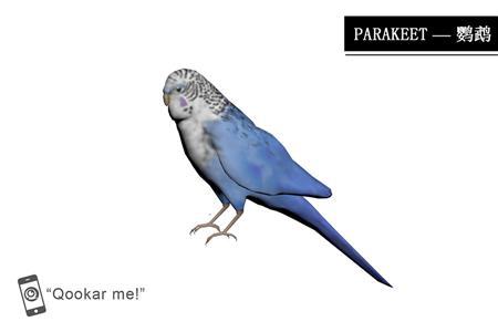 长尾小鹦鹉 parakeet
