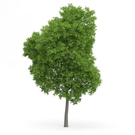 针叶树 4
