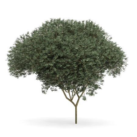 针叶树 10