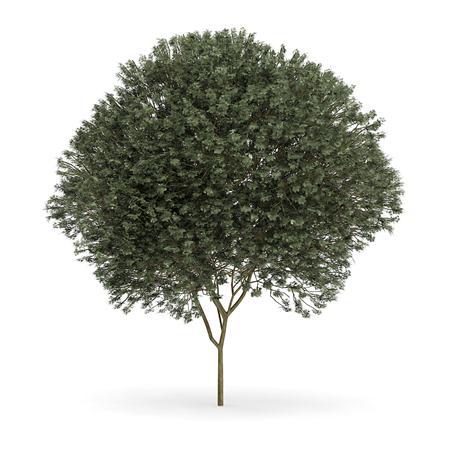 针叶树 11
