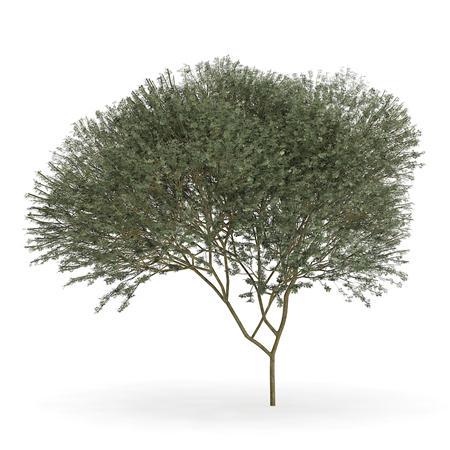 针叶树 12