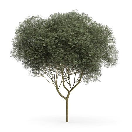 针叶树 13