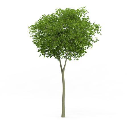 针叶树 19
