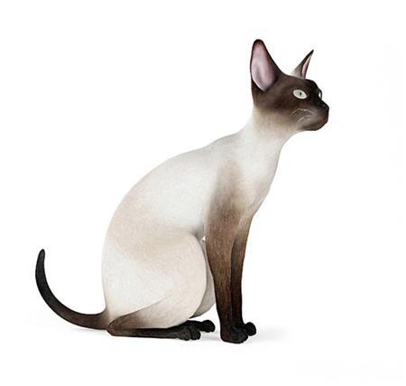 暹罗猫 Siamese 蹲坐