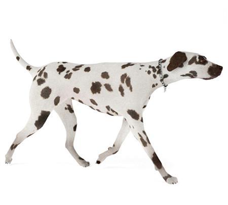 大麦町犬 Dalmatian 行走