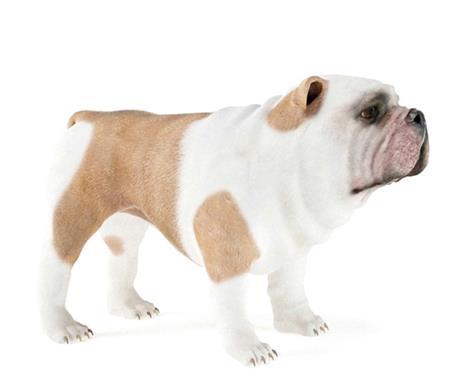 沙皮犬SharPei