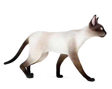 暹罗猫 Siamese 漫步