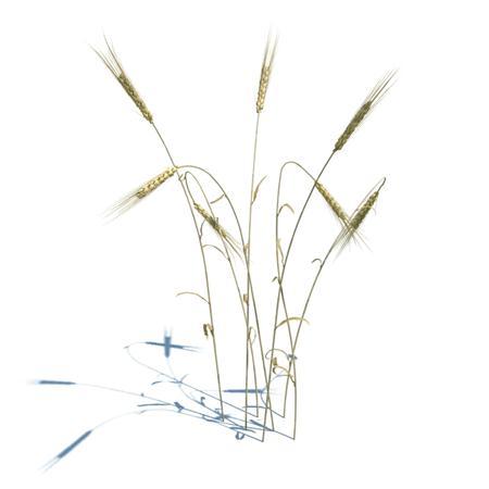 成熟后的小麦