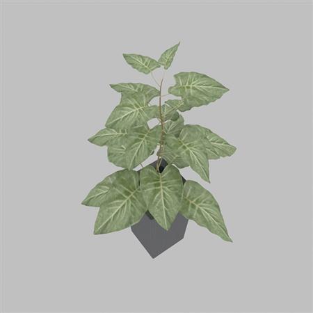 观叶植物 盆栽
