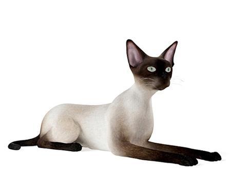 暹罗猫 Siamese 坐卧