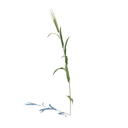 小麦 单株